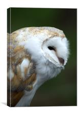 Small Owl, Canvas Print