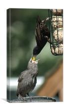 Starling feeding a juvenile, Canvas Print