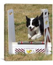 Collie dog in a flyball competition, Canvas Print