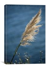 Grass seed head, Canvas Print