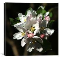 Apple Blossom 2, Canvas Print