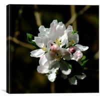 Apple Blossom 3, Canvas Print