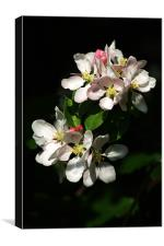 Apple Blossom 4, Canvas Print
