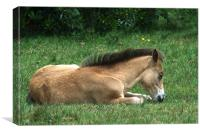 New Forest Pony sleeping, Canvas Print