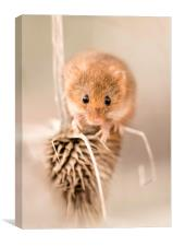 Harvest Mouse on Thistle, Canvas Print