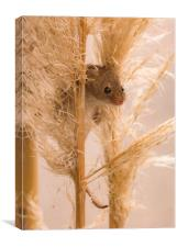 Harvest Mouse on Grass, Canvas Print
