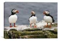 Trio of Puffins, Canvas Print