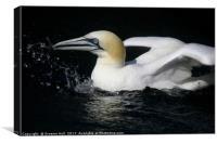 Gannet all at Sea, Canvas Print