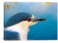 Black-crowned Night Heron, Canvas Print