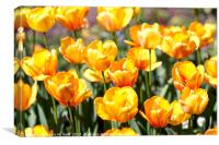 Golden Tulips in the Sunshine, Canvas Print