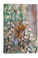 Monarch Butterflies on a Eucalyptus Tree, Canvas Print
