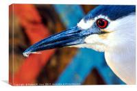 Black-crowned Night Heron - Nycticorax nycticorax, Canvas Print