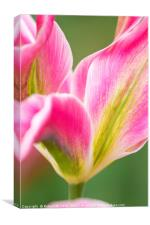 Pink Yellow and Green Tulips in the Spring, Canvas Print
