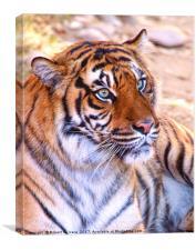 Portrait of a Sumatran Tiger - Panthera tigris sum, Canvas Print