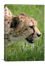 Cheetah about to pounce., Canvas Print