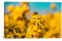 Rape seed flower, Canvas Print