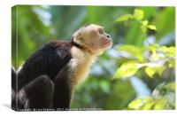 Capuchin Monkey in the trees, Canvas Print