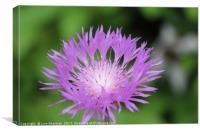 Purple Persian Cornflower, Canvas Print