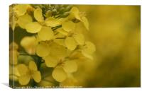 Closeup of Mustard seed flowers, Canvas Print
