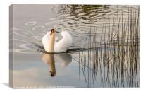 White Swan  Reflection, Canvas Print