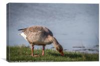Greylag Goose - Feeding, Canvas Print