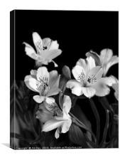 Black Lily, Canvas Print