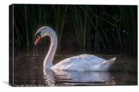 White Swan Feeding at Sunrise, Canvas Print