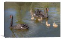 A pair of Black Swan with Four Cygnets, Canvas Print