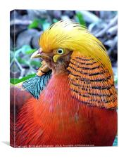 Portrait of a Golden Pheasant, Canvas Print