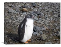 Gentoo penguin chick at Brown Bluff, Canvas Print