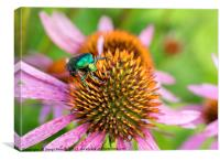 Bright green Chapfer on a flower of Echinacea, Canvas Print
