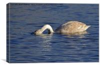 Swan on the lake at Ham Wall Nature Reserve Meare, Canvas Print