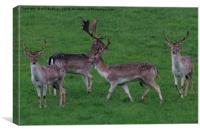 Wild Fallow buck deers in Somerset Uk , Canvas Print