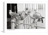 steven seagull, Canvas Print