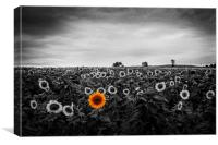 A field of sunflowers, Canvas Print