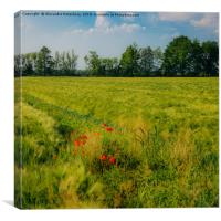Red poppies on a green wheat field , Canvas Print