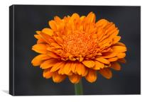 Orange Gerbera  3, Canvas Print