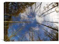 Converging Silver Birches, Canvas Print
