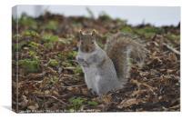 Grey Squirrel-(Sciurus carolinensis)