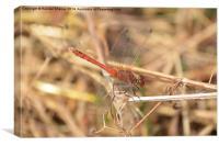 Ruddy Darter Dragonfly, Canvas Print