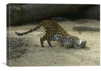 Leopard at play, Canvas Print
