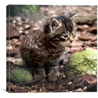 Cute Scottish Wildcat Kitten, Canvas Print