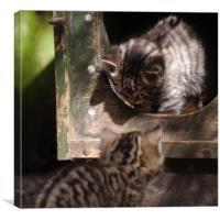 Scottish Wildcat kittens playing, Canvas Print
