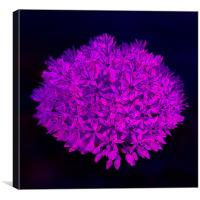 Allium flower abstract bright magenta, Canvas Print