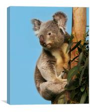 Koala in eucalyptus tree, Canvas Print