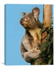 Cute Koala looking up, Canvas Print