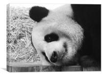 Giant Panda lying down, Canvas Print