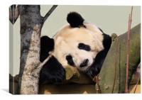 Giant Panda sleeping, Canvas Print
