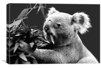 Koala eating eucalyptus leaves, Canvas Print