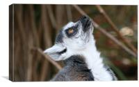 Cute ring-tailed lemur looking up, Canvas Print